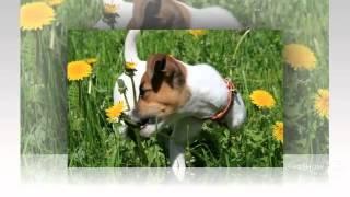 Джек-рассел-терьер порода собак