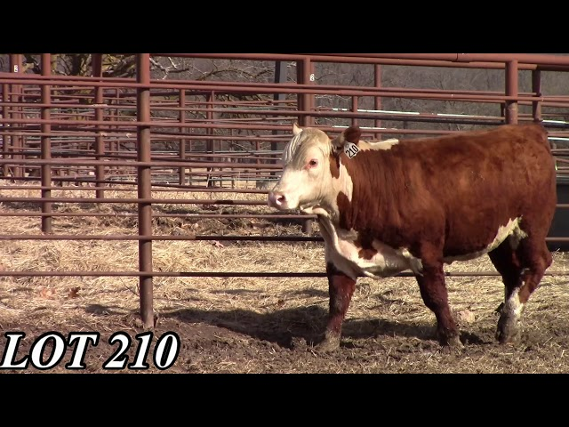 Mead Angus Farms Lot 210