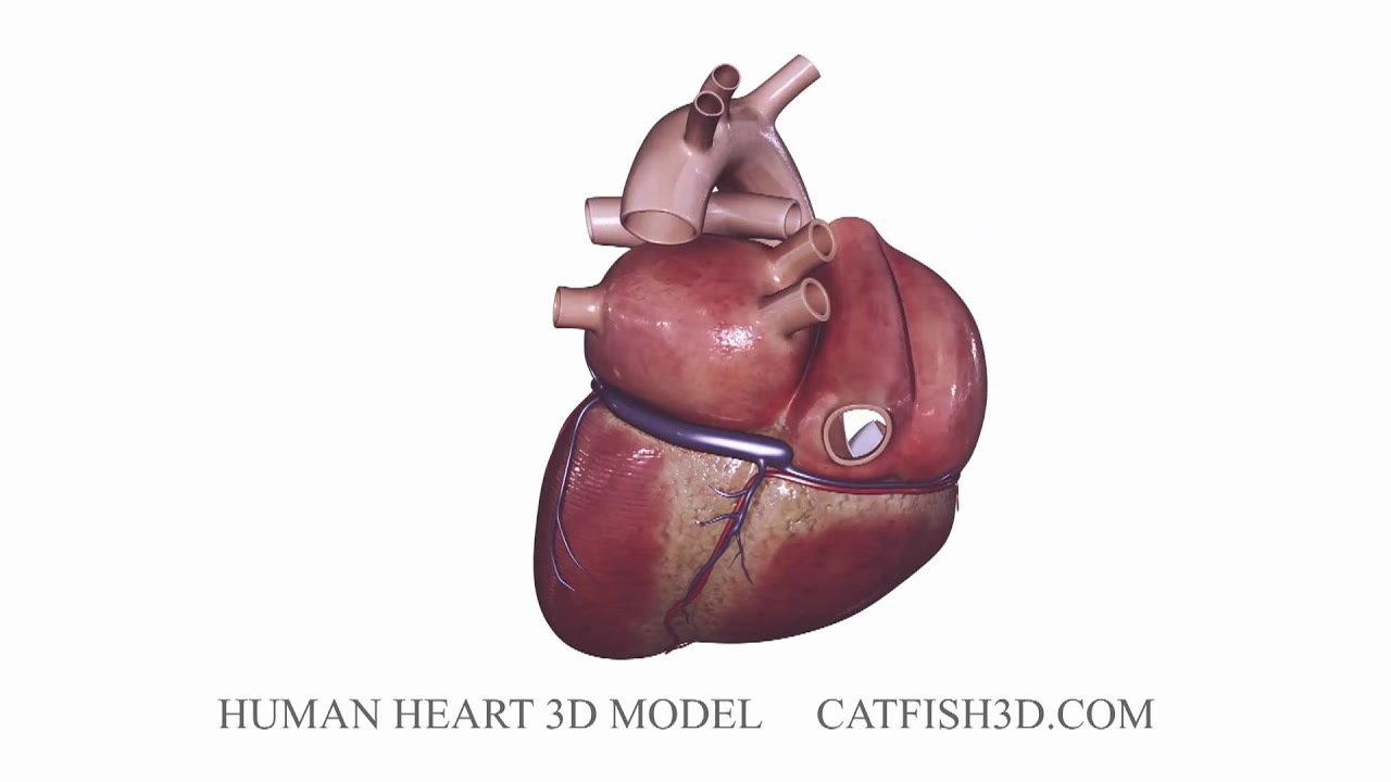 Heart 3d model youtube heart 3d model pooptronica