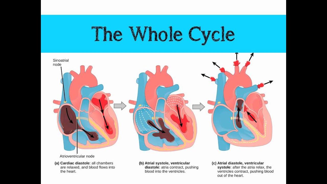 The Mammalian Heart Amp Cardiac Cycle