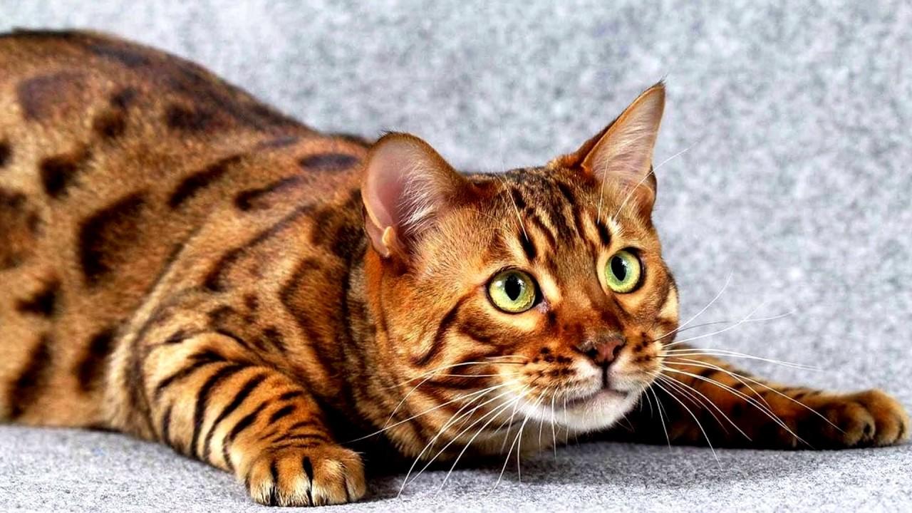 Кошки как тигры — породы и фото