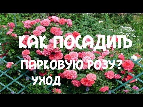 Как посадить парковую #розу?