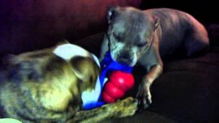 English Bulldog & Staffordshire Bull Terrier