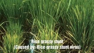 Major Diseases of Rice
