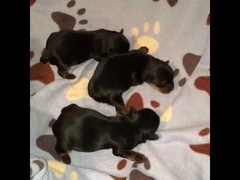 Yorkies Of Houston Newborn Puppies For Sale In Houston Tx Youtube