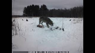 Охота на волка в Калининграде 2019