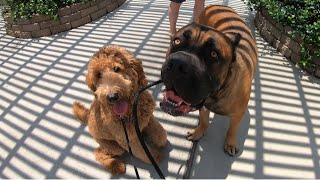 Taking Humongous Cane Corso In Training To Ice Cream Parlor Hey Mickey's | Hank & Hazel