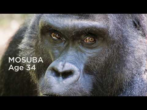 Mosuba - Silverback Gorilla at the North Carolina Zoo