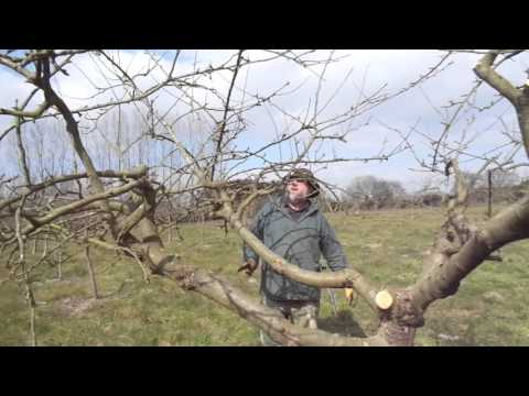 Renewal pruning a big apple tree with the Silky saw