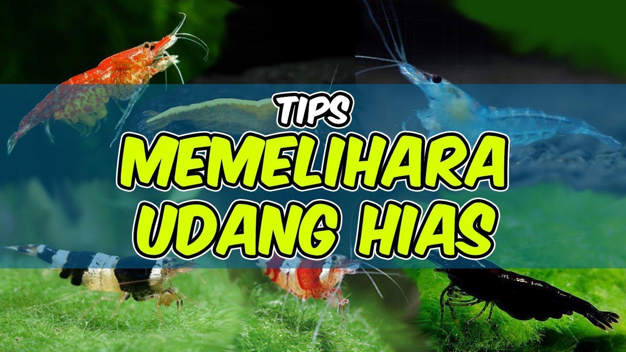 Tips Memelihara Udang Hias Shrimp Care Youtube