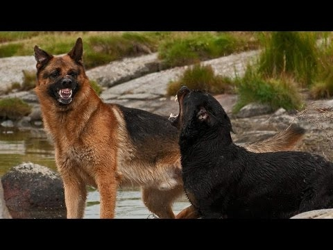 German Shepherd vs Rottweiler - Dog Videos [Mr Fenley ...