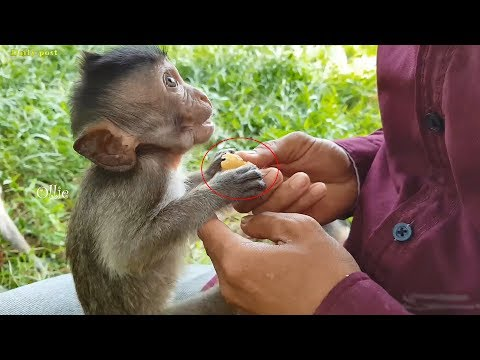 Aw, so cute & hungry baby monkeys crying and begging for fruits, lovely hungry baby animals videos