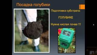 Выращивание голубики садовой