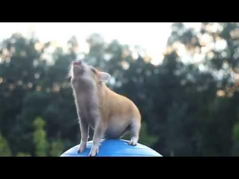 Pig Stefa - tricks, agility and fun! 2-5 months