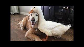 1.「絶対笑う」最高におもしろ犬,猫,動物のハプニング, 失敗画像集 2017...