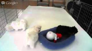 Micro Teacup Maltese & Yorkie Puppies For Sale In Los Angeles