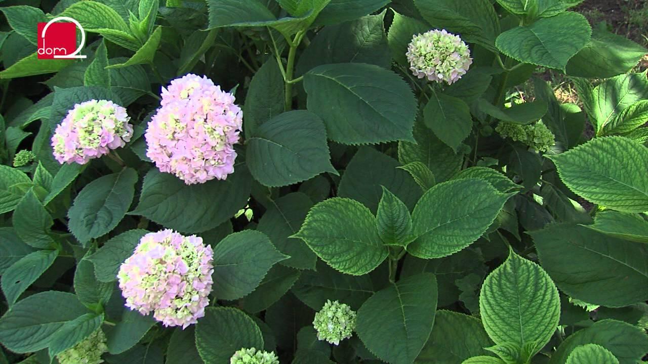 Raskošne hortenzije kao ukras ljetnog vrta - YouTube