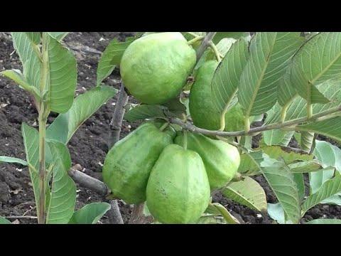 दमदार अमरूद की उच्चतम क्वालिटी की सरदार किस्म | Guava guava variety of  highest quality
