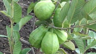 Video दमदार अमरूद की उच्चतम क्वालिटी की सरदार किस्म | Guava guava variety of highest quality. download MP3, 3GP, MP4, WEBM, AVI, FLV Juli 2018