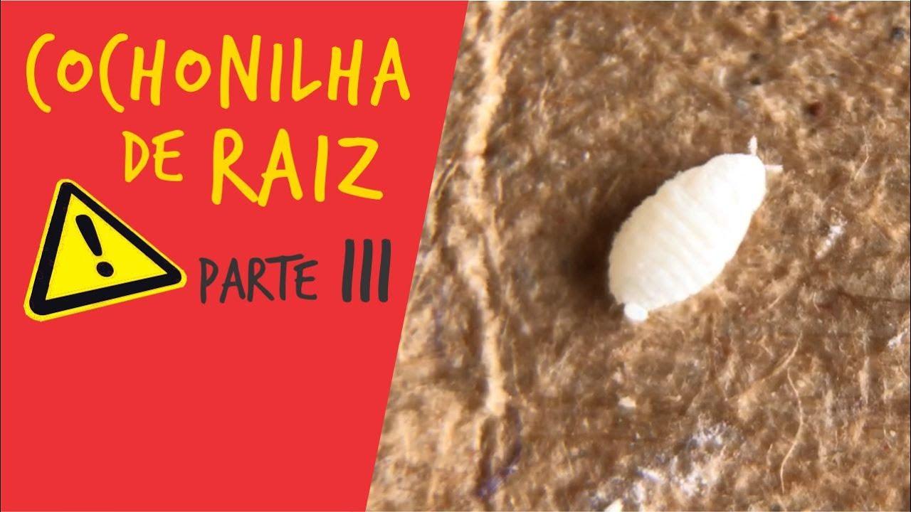COCHONILHA DE RAIZ nas Rosas do Deserto: Apolonia Responde