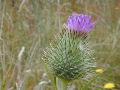 Braveheart-A Gift of a Thistle