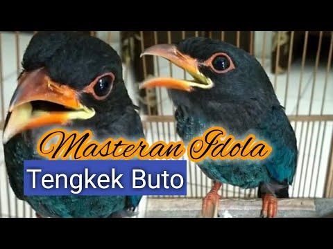Masteran burung hits suara burung tengkek buto