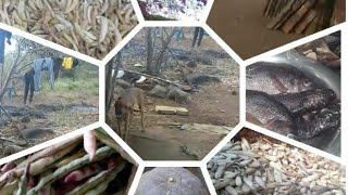 Colheita da fava é milho lá na roça  além da paisagem do sertão.