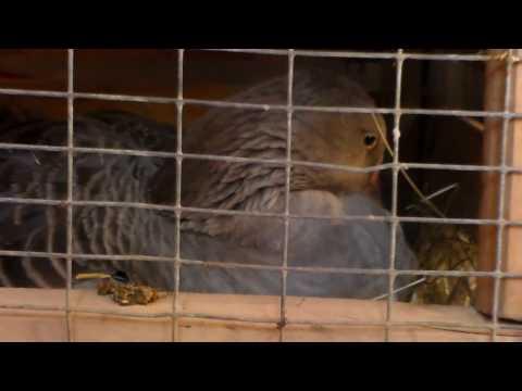 Гусыня высиживает яйца в самодельном гнезде.Гнездо для высиживания гусят.