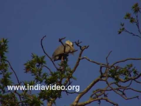 Migratory storks in Srinagar