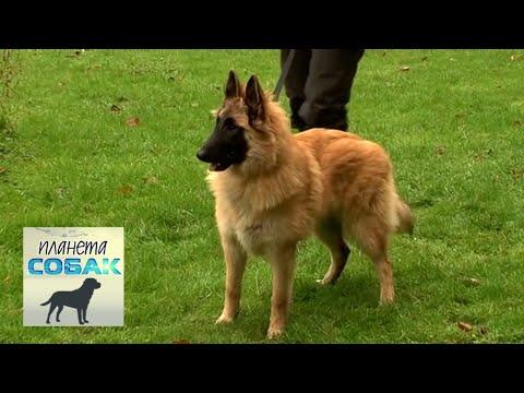Бельгийская овчарка Тервюрен. Планета собак 🌏 Моя Планета
