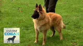Бельгийская овчарка Тервюрен  Планета собак