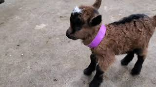 Tiny baby goat is cute but noisy!