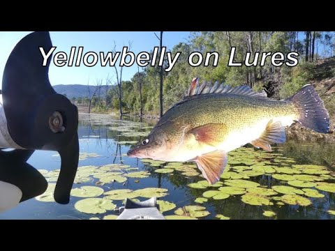Yellowbelly On Lures (Somerset Dam)