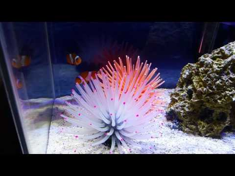 Clownfish Hosting Artificial Anemone.