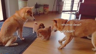 The origin of Potats! Shiba Inu puppies (with captions)