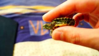 красноухие черепахи! обзор!(, 2013-10-14T11:20:41.000Z)