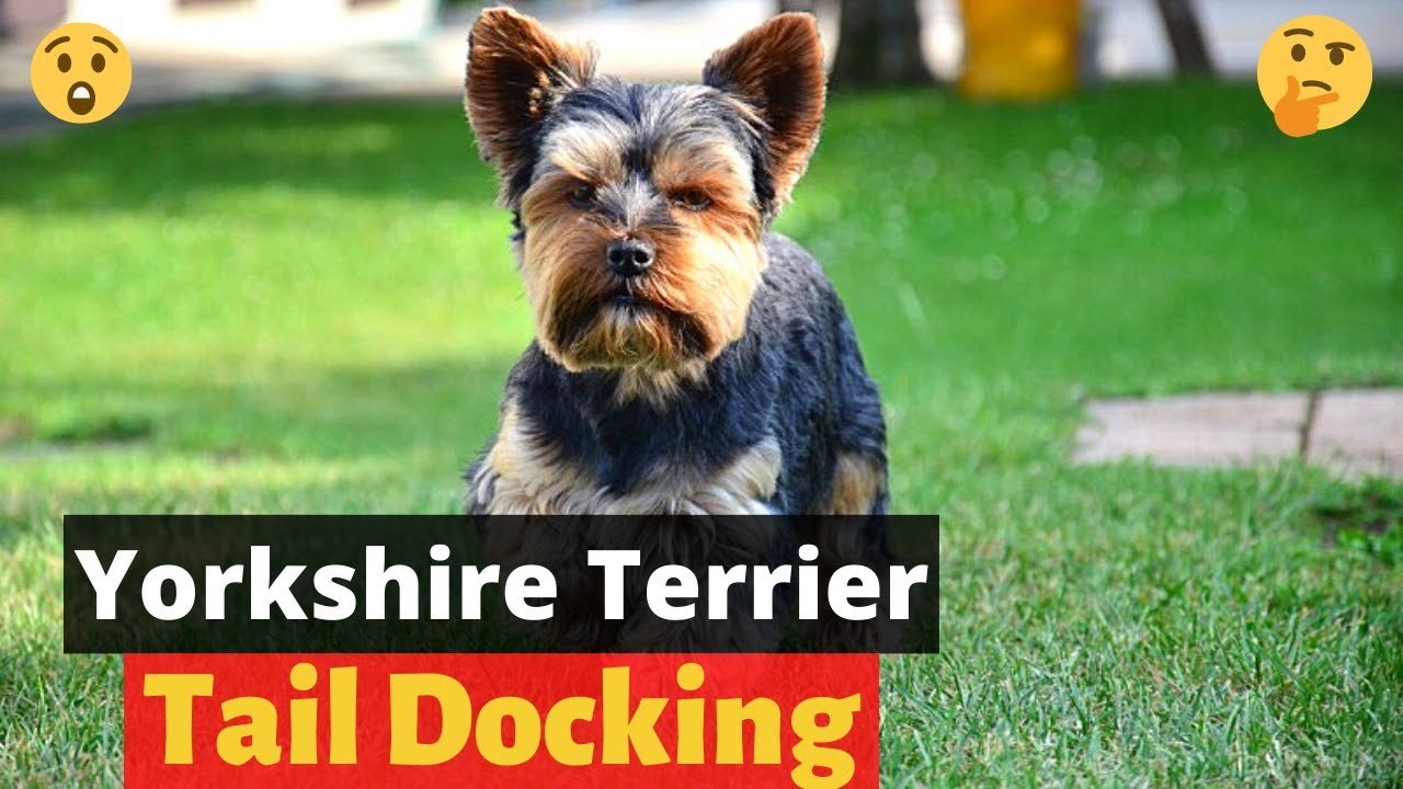 Yorkshire Terrier Tail Docking Everything You Need To Know About Little Paws Training Youtube