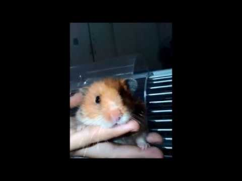 My oldest Hamster, Pooh and her little trick