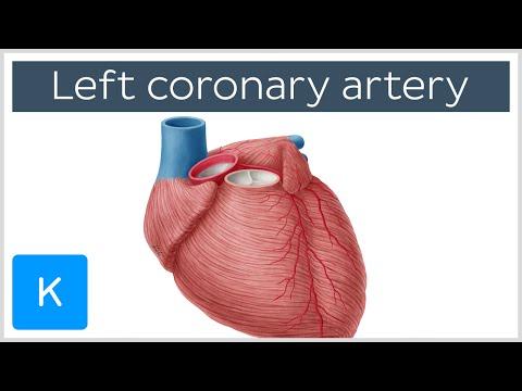 Left coronary artery - Function, Anatomy & Diagram - Human Anatomy  Kenhub