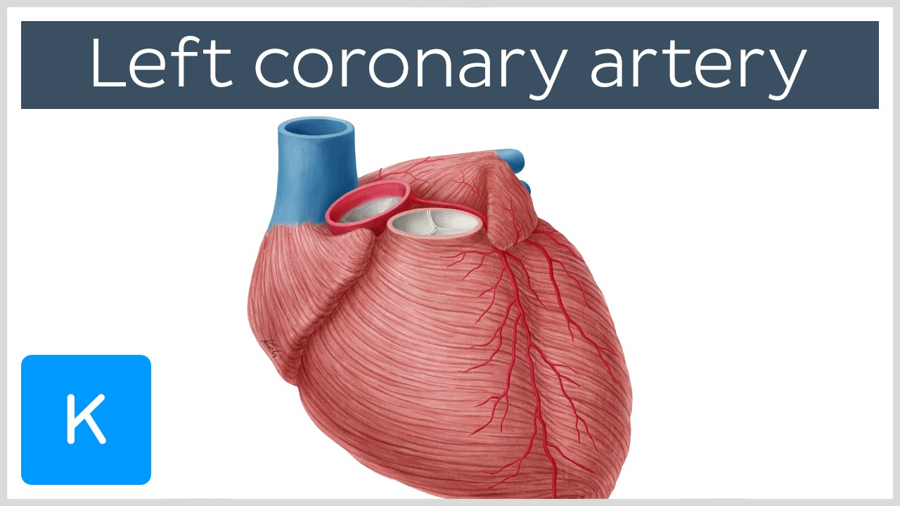Left coronary artery - Function, Anatomy & Diagram - Human Anatomy ...
