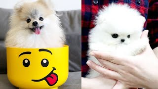 😍 Mini Pomeranian - Funny and Cute Pomeranian Puppies Videos Compilation #4