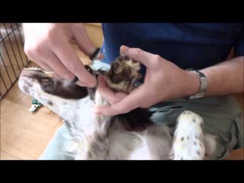 Trimming English Springer Spaniel Paws