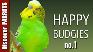 Happy Budgies - Budgerigar Sounds to Play for Your Parakeets | Discover PARROTS