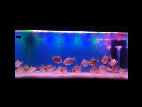 Jumbo Dollar Fish Aquarium