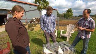 L'élevage de pigeon