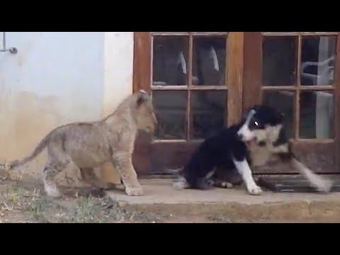 Sneaky Lion Cub Scares Dog | Simba the Jokester