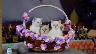 Funny kittens. Смешные котята. Невская маскарадная. Ринг пометов.