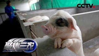 《聚焦三农》春耕周记:生猪产业格局正在悄然变化 20190425   CCTV农业