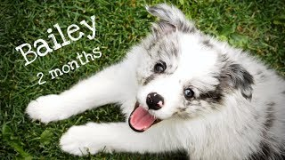 Welcome home Bailey!  blue merle border collie puppy (2 months)