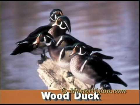 Audubon Society VideoGuide to Birds-Wood Duck